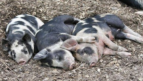 Bent and the Pigs