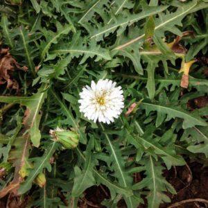 Dandelion progress